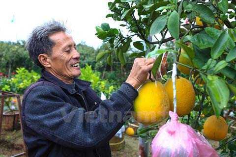 Cuối năm, rất nhiều người thích chơi cây cảnh tìm đến vườn cây của ông Lê Đức Giáp ở thôn Bãi, xã Cao Viên (huyện Thanh Oai, Hà Nội) để chọn và mua loại cây cảnh 'siêu lạ' với 10 loại quả trên cùng một cây. (Ảnh: Minh Sơn/Vietnam+)