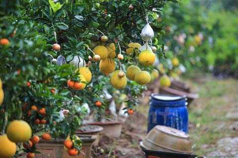 Ông Giáp cho biết, cây chọn ghép phải có thân to và bộ rễ chùm khỏe, thường là cây bưởi, sau đó đưa thêm các loại quả khác như cam, phật thủ,… sao cho các loại quả chín đúng dịp Tết. (Ảnh: Minh Sơn/Vietnam+)