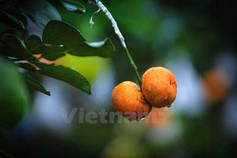 Muốn quả ghép phát triển bình thường, ông phải khéo léo và cẩn thận ghép cuống quả vào cành hay nhánh của cây thật chính xác, tương xứng nhau, khi buộc phải thắt chặt túi nilon ở vết ghép để quả có chất dinh dưỡng. (Ảnh: Minh Sơn/Vietnam+)