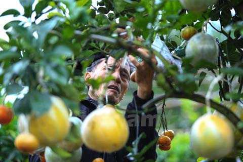 Hàng năm, bắt đầu từ tháng Sáu Âm lịch, ông Giáp bắt đầu đi tìm kiếm các thân cây bưởi, cây cam có thế đẹp về làm gốc, sau đó đi chọn đủ các loại quả cần ghép rồi tiến hành công việc cấy quả vào thân. (Ảnh: Minh Sơn/Vietnam+)nh