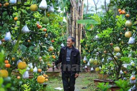Trải qua 6 tháng chăm sóc liên tục, đúng vào dịp cận Tết, các cây này sẽ đơm hoa kết trái theo đúng ý ông. (Ảnh: Minh Sơn/Vietnam+)