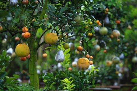 Một cây ghép quả cỡ lớn, có đủ 10 loại sẽ có tới gần 100 quả trên thân chính. Ngoài ra, mỗi cây ghép ngoài quả đã lớn còn có đầy đủ chồi, lộc, quả non và hoa chanh, bưởi, cam tỏa hương thơm ngào ngạt. (Ảnh: Minh Sơn/Vietnam+)