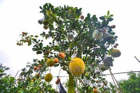 Loại cây 10 loại quả này có dụng ý vừa làm vật trang trí, giúp hài hòa không gian trong nhà vừa mang ý nghĩa phát tài, phát lộc 'thập toàn thập mỹ' trong năm mới. (Ảnh: Minh Sơn/Vietnam+)