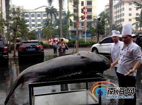 Con cá mú này sẽ được chế biến thành nhiều món ăn ngon