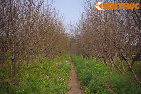 Theo anh Tiến, một chủ vườn đào tại   Nhật Tân: