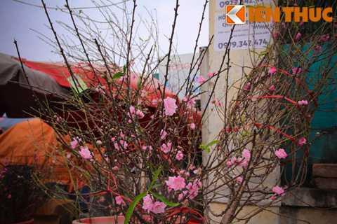 Theo một chủ cửa hàng hoa tại chợ   Quảng Bá, đào cành mua thời điểm này có thể chơi được từ 2-3 tuần, khi   đó đã gần tới Tết có thể thay hoa mới.