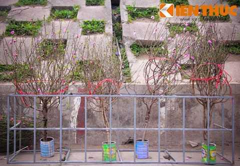 Thông thường, đào cành sẽ được các   hàng hoa Quảng Bá bán từ rằm tháng 11 Âm lịch, tuy nhiên, năm nay nhà   vườn bán muộn hơn khoảng 1 tuần.