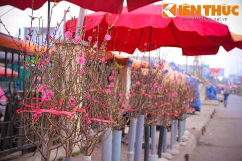 Hầu hết đào bán tại chợ đều đã bung   nở hoa khá đẹp mắt. Theo chị Hoa, một người bán hàng tại đây cho biết: