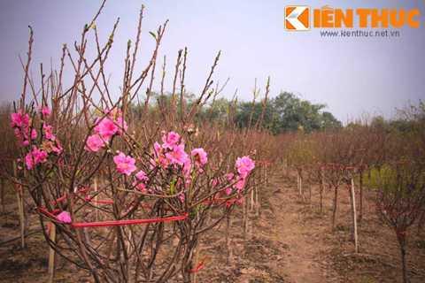 Ngoài vườn Nhật Tân, nhiều cành đã được chủ vườn buộc dây tạo tán tròn, chờ mang ra chợ bán.