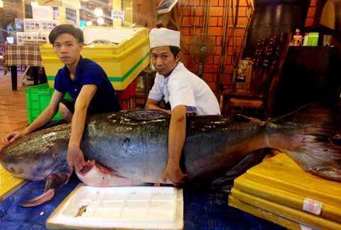 Con cá tra dầu dài 2,2m nặng 200kg, thân cá hai người ôm không xuể.