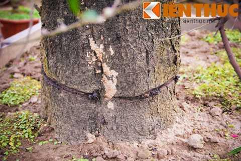 Theo chủ vườn cảnh này, sở dĩ giá thuê   cây đào thế Tết cao như vậy là vì dáng đào đẹp. Hơn nữa, do kích thước   của cây và chậu cảnh lớn nên phải thuê cẩu để vận chuyển. Chỉ tính riêng   phí thuê cẩu đã sấp xỉ cả chục triệu đồng.