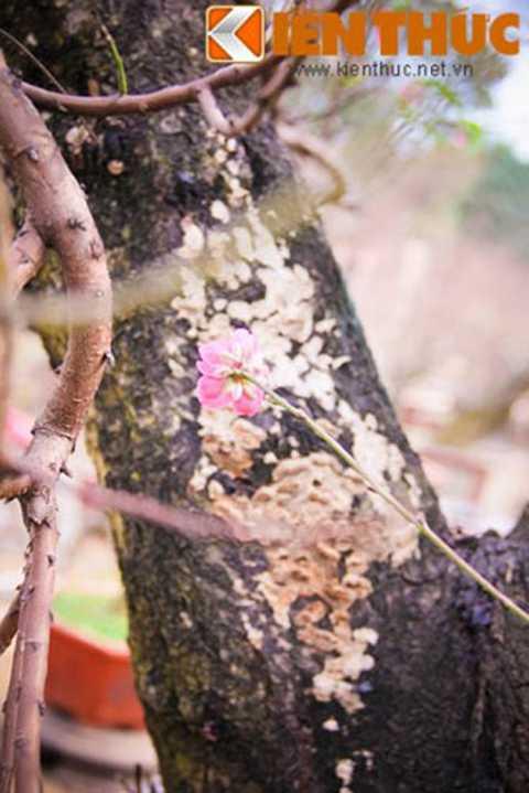 Đào thế có đường kính 70cm, gốc   và thân cây mốc meo, xù xì. Đây là gốc đào ghép. Theo chủ vườn, dòng đào   ghép thường được chuộng thuê hơn là mua đứt bởi thời gian chơi dòng đào   này không được lâu.