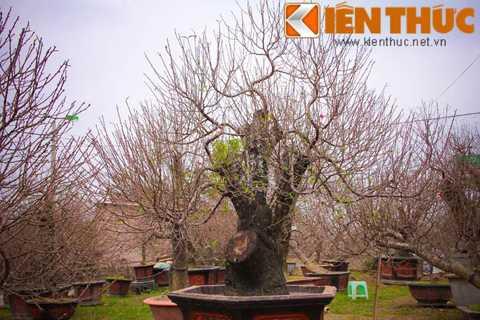 Một gốc đào thế tam đa được nhà vườn   rao giá thuê từ 35 triệu đồng. Chúng thường được các đại gia, doanh   nghiệp lùng thuê vào dịp năm mới.
