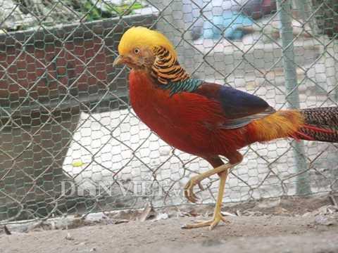 Chú chim này chỉ nặng khoảng 0,6 – 0,7kg, song có giá tới 22 triệu đồng, tương đương 1kg có giá lên tới gần 40 triệu đồng.