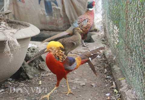 """Chú chim trĩ """"nghìn đô"""" kiêu sa bên những chú chim trĩ có màu lông bình thường, đặc trưng của loài."""