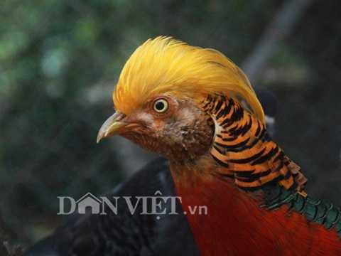 Chú chim trĩ 9 màu này có giá