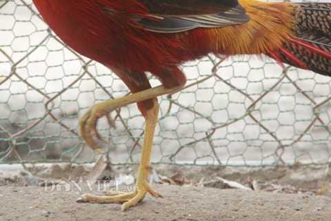 Bộ chân vàng, cao, nhanh nhẹn và đang chồi ra đôi cựa màu vàng, khiến chú chim này càng trở nên đắt giá.