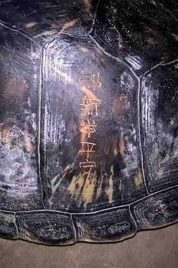 Các ký tự Hán khắc trên mai rùa. Ảnh: Chi cục bảo vệ thủy sản Quảng Trị