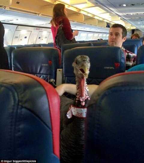 Chú gà tây ngồi trên ghế hành khách.