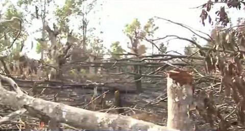 Hàng chục hecta rừng trồng gỗ sao bị chặt tận gốc