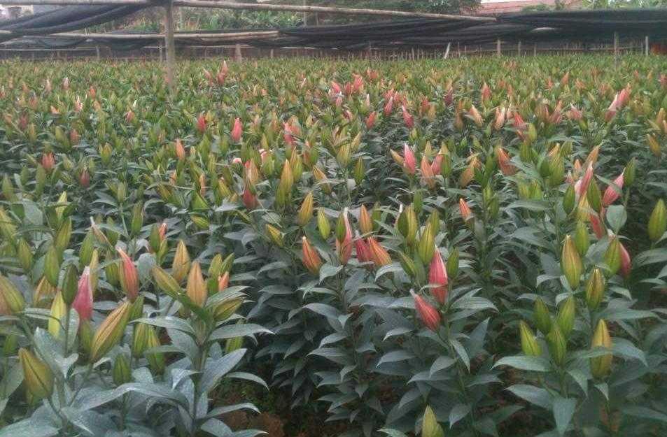 Những vườn hoa ly trực bung nở dù 3 tuần nữa mới tới Tết Nguyên đán