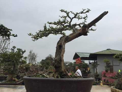 Cây linh sam mini với một phần thân lũa được biến thành điểm nhấn của tác phẩm cây.