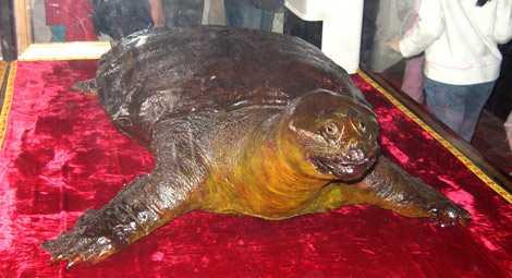 Tiêu bản rùa Hồ Gươm trong đền Ngọc Sơn.