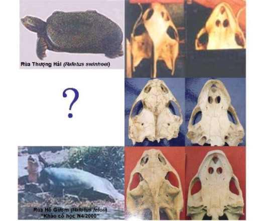 Ảnh so sánh sọ rùa Hồ Gươm và giải Thượng Hải. Ảnh: PGS. Hà Đình Đức.