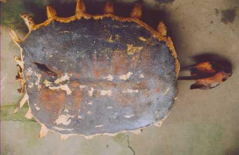Bộ xương rùa ông Hoàng Văn Bốn (Minh Quân, Yên Bái) giữ.