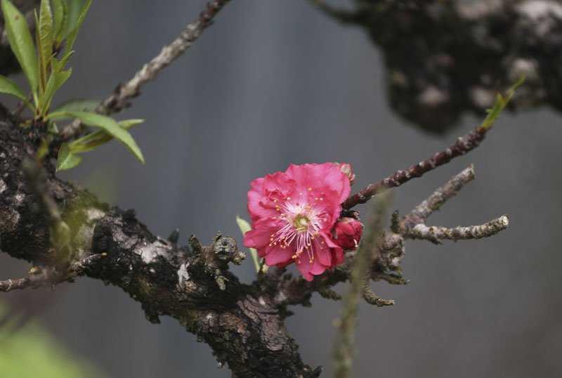 Màu đỏ của hoa đào Thất Thốn cũng rất đặc biệt, đỏ thẫm giống màu trên giấy viết câu đối ngày Tết.