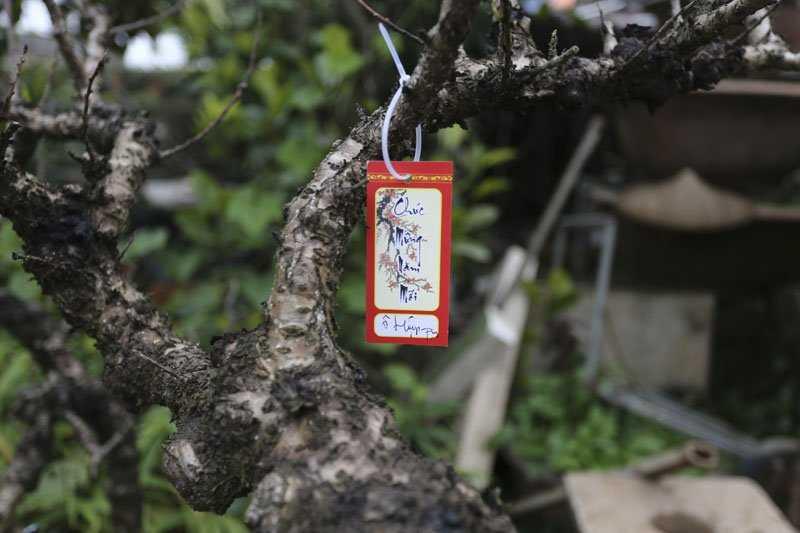 Còn khoảng 20 ngày nữa mới đến Tết Nguyên đán nhưng vườn đào Thất Thốn này đã được đặt thuê gần hết.