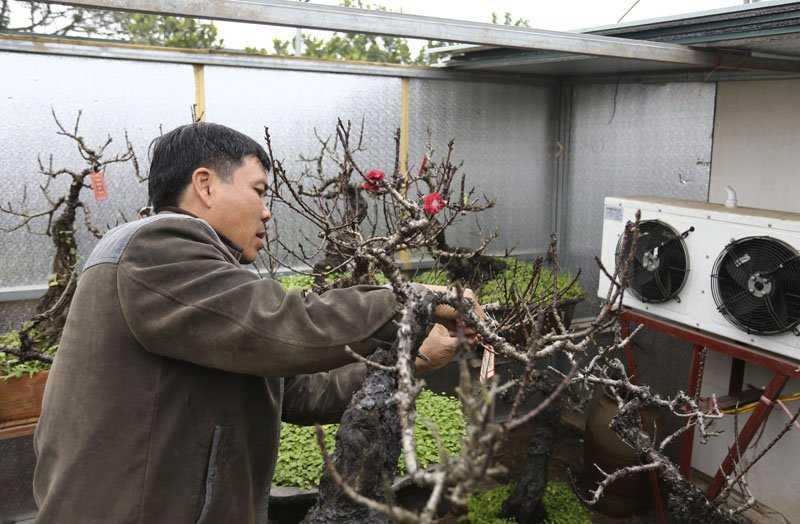 Hơn 20 năm làm nghề trồng đào, ông Lê Hàm là một trong số ít người ở Nhật Tân trồng thành công đào Thất Thốn và cho ra hoa đúng dịp Tết.