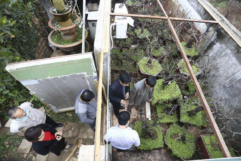 Từ trước Tết một tháng, đã có rất nhiều khách hàng đến xem đào. Hiện nay, trong vườn nhà ông Hàm có hơn 50 gốc đào Thất Thốn chỉ cho thuê không bán.