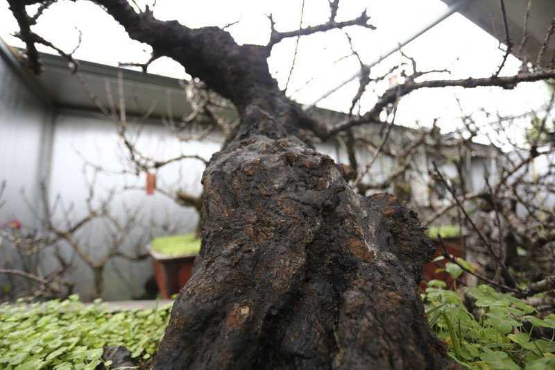 Đào Thất Thốn cổ thụ có thân hình xù xì, cằn cỗi. Hầu hết đào Thất Thốn trong vườn của ông Hàm đều có tuổi thọ trên 20 năm.