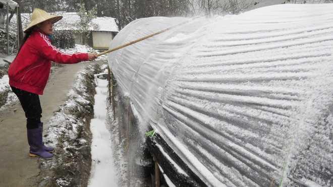 Nông dân Sa Pa đập cho tuyết rơi khỏi mái che bằng nylon để bảo vệ hàng nghìn gốc hoa ly chuẩn bị đến ngày thu hoạch.