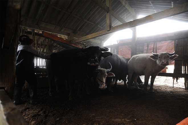 Gia đình anh Chảo Dào Tá, bản Khoang, xã Can Hồ B (Sa Pa, Lào Cai) có 6 con trâu. Anh lùa về chuồng, che chắn cẩn thận để tránh giá rét. Mỗi đợt tuyết rơi, hàng chục trâu bò chết vì cước chân khiến nhiều gia đình thiệt hại nặng về kinh tế.