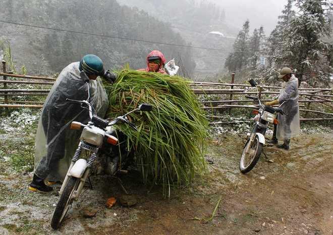 Vợ chồng người Mông tranh thủ đi cắt cỏ về dự trữ vì sợ lớp tuyết dày phủ kín không còn cỏ cho trâu bò ăn.