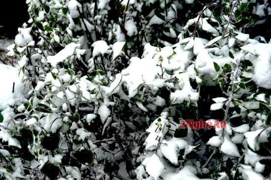 Khắp nơi tuyết phủ trắng xóa trên cây cối.