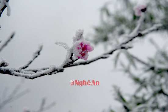 Những bông hoa đào ngậm tuyết đem đến một cảm giác vô cùng thi vị trên vùng biên viễn.
