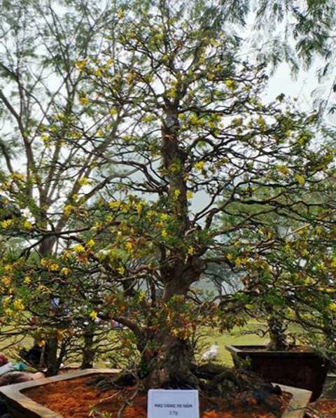 Cây mai cao khoảng 4 m, tán hơn 3   m, gốc theo thế xoắn vắt áo rất hiếm, thân cây chắc chắc và có nhiều gụ   nổi xù xì cổ kính. Theo chia sẻ của chủ nhân, dáng mai là tự nhiên,   không cắt tỉa và uốn cành. Ảnh: Zing.