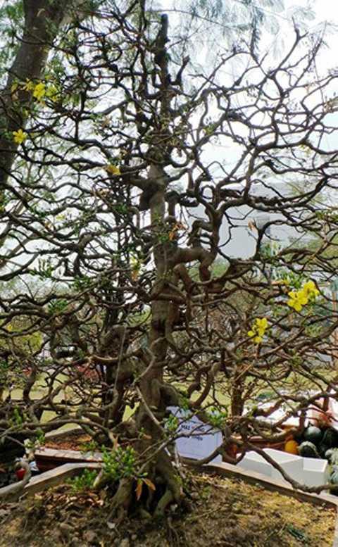 Ngoài cây mai độc nhất vô nhị   giá cả tỷ đồng trên, nghệ nhân này còn sở hữu nhiều cây mai cảnh đắt đỏ,   trong đó, một dáng mai cổ quái được định giá 600 triệu đồng. Ảnh: ĐSPL.