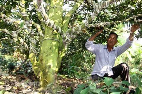 Làng mai vàng Phước Định (Vĩnh Long) hiện   có khoảng 550 cây mai vàng cổ thụ trên 100 năm tuổi đang chờ bán chơi   Tết. Mai vàng trên 100 năm tuổi tại đây được định giá từ 100 triệu đến   cả tỷ đồng. Ảnh: Dân Việt.
