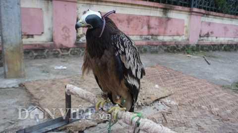 Nuôi chim đại bàng đốm tưởng chừng như   chỉ phổ biến ở thành phố, nhưng ở huyện vùng cao khó khăn như Trạm Tấu   (Yên Bái), anh Đường Khắc Quang cũng sở hữu một chú chim đại bàng đốm.