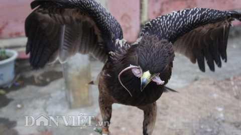 Sải cánh của chú đại bàng này đã được hơn 1m.
