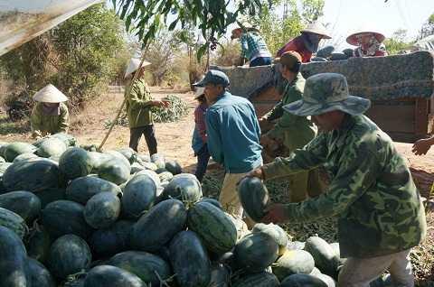 Hình ảnh nông dân thu hoạch dưa tại huyện Ea Súp (Ảnh:Thu Sa)