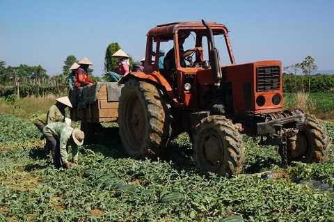Người dân thu hoạch dưa hấu tại vườn (Ảnh:Thanh Hải)