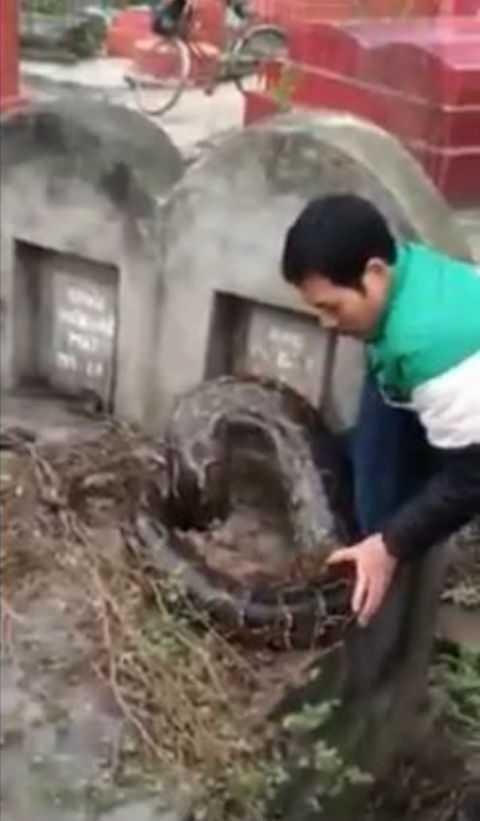 Con trăn khổng lồ chui vào ngôi mộ.