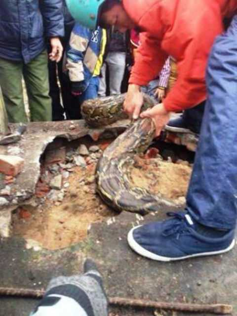 Người dân phải phá mặt ngôi mộ để đưa con trăn ra ngoài.