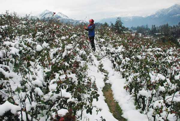 Một vườn hoa hồng bị tuyết vùi lấp ở Lào Cai. Ảnh: Báo Lào Cai