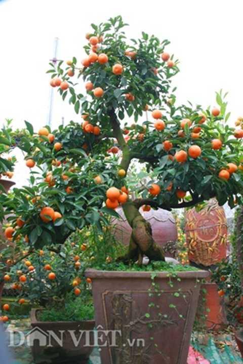 Cây quất bonsai thế ngũ phúc chỉ được chủ vườn cho thuê chứ quyết không bán